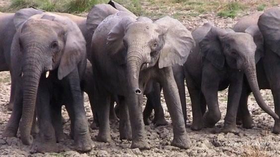 Dans la Pendjari le 27 Février 2011. On peut approcher les éléphants parfois à 50 mètres et moins.