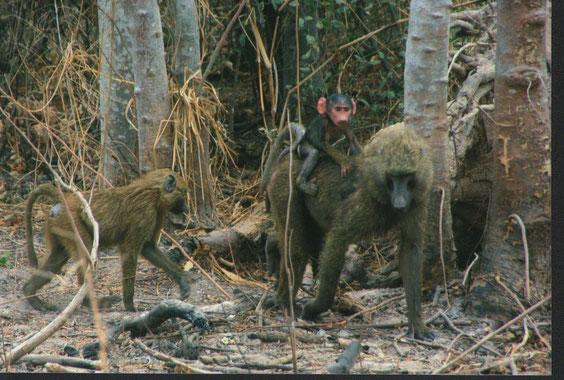Les Babouins, très attirants mais méfiances, ils peuvent être très vite agressifs !  341 K.O.