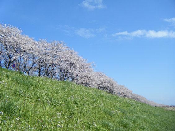 今年の桜はどこか薄いような、鱒と同じで笑