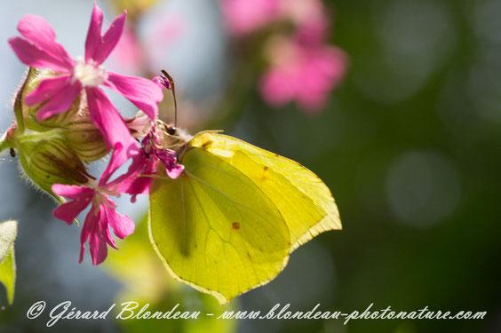 Papillon citron mâle butinant des fleurs de compagnon rouge dont la corolle est adaptée pour recevoir la trompe des papillons à la recherche de nectar.      Photo Gerard BLONDEAU CLIMAX