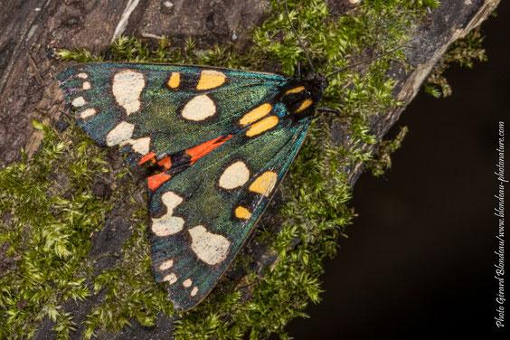 L'écaille rouge (Callimorpha dominula) cache ses ailes colorées sous ses ailes antérieures tachetées