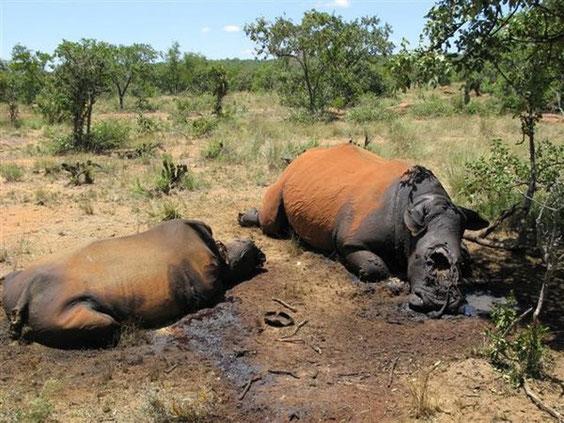 Nashorn-Wilderei in Südafrika. Foto: dpa