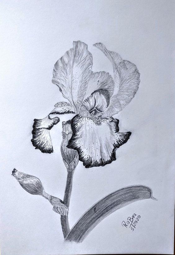 Schwertlilie, Bleistift auf Clairfontaine On Multitechnik Papier, 29,7 cm x 42 cm