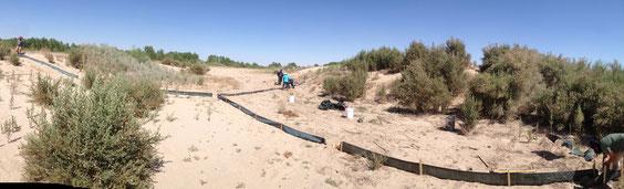 Instalación de trampas de captura en un sitio no restaurado del  Delta Río Colorado.