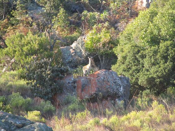 Klipspringer femmina. Il camoscio d'Africa.