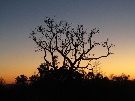 Cabbage tree stagliato contro il tramonto.