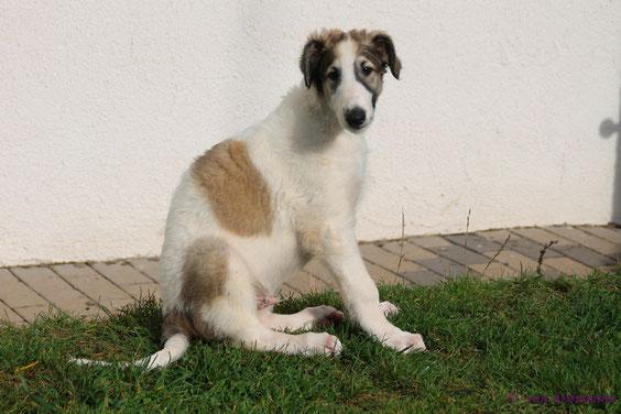 rot-weiße Barsois vom Züchter..., Russische Windhunde, genannt Barsois! Wir züchten leidenschaftlich und mit Herz Scottish Deerhounds und Barsois!