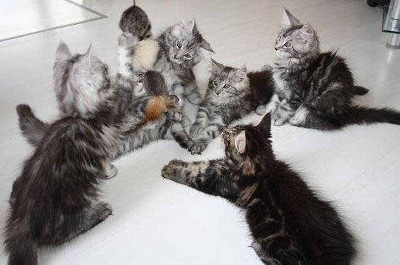 """Letztes """"Spielbild"""" mit meinen 6 Hokulanis-Kitten aus dem G-Wurf (12Wochen)"""