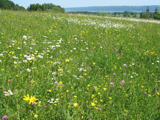 Eine Wildblumenwiese ist ein wichtiger Lebensraum für eine Vielzahl von Tieren und eine Augenweide für Menschen. (NABU/F. Schön)