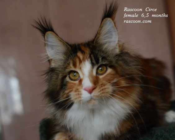 Rascoon Circe