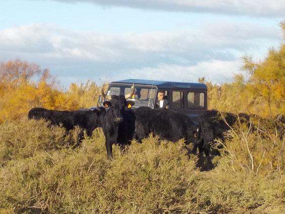 visite en 4X4 au milieu des taureaux et des chevaux Camargue  biodiversité agroécologie