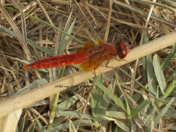 biodiversité libellule rouge Camargue