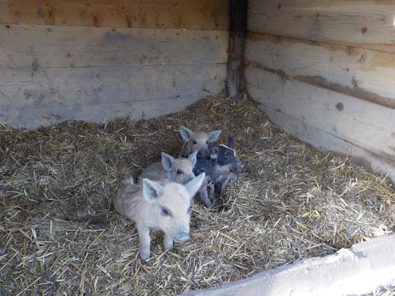 petits cochons laineux mangalitsa biodiversité agroécologie