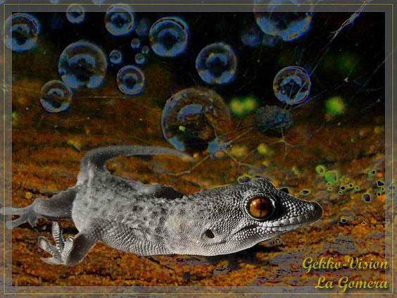 Gomeragecko Tarentola gomerensis © Henner Riemenschneider Gekko-Vision La Gomera