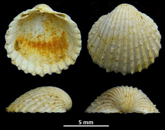 Cardium pelouatense, Miocene dell'Aquitania