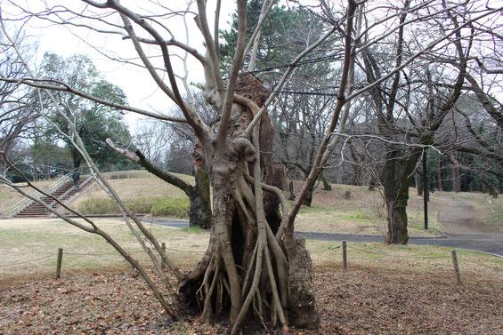 樹勢を回復したソメイヨシノ