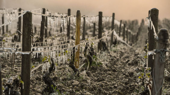 sprinkling-water--in-the-vineyard-to-protect-the-buds-from-frost