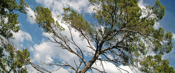 privilégieer le bois d'oeuvre, en particulier le pin d'Alep