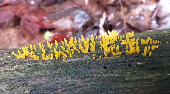 Geel hoorntje, Groote Heide