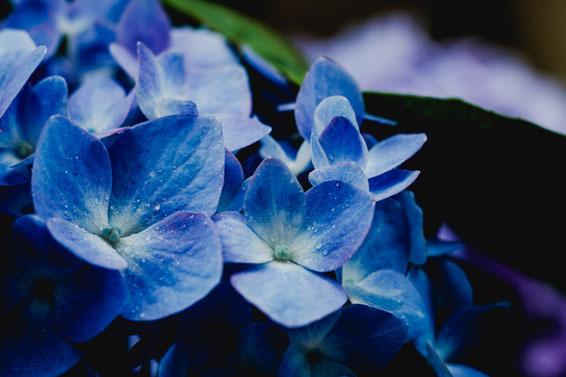 紫陽花(Fujifilm X-Pro2)