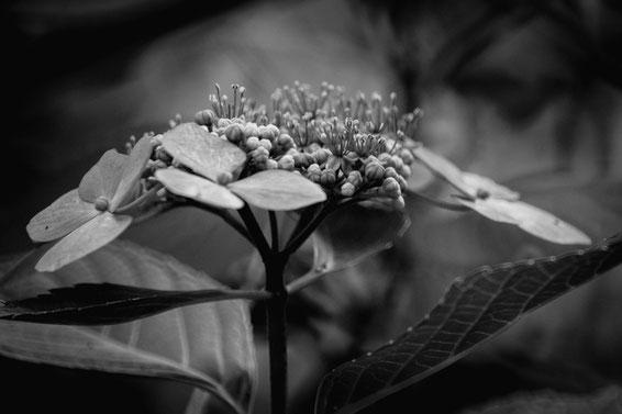 モノクロの紫陽花(Fujifilm X-Pro2)