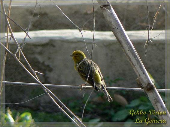 Kanarengirlitz Serinus canaria La Gomera