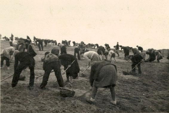 """Lotzdorf, an der Hohle (Kühnheide-Weg): gebeugte Rücken beim """"Stoppeln""""  für ein paar Kartoffeln…    (Foto ca. 1949: Sammlg. A. Wünsche)"""