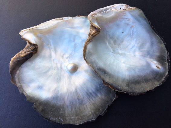 Oyster Shells with black pearl under nacre, oyster shell