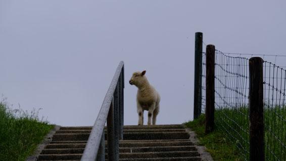Schaf an der Treppe Foto: Ulrich Melzer