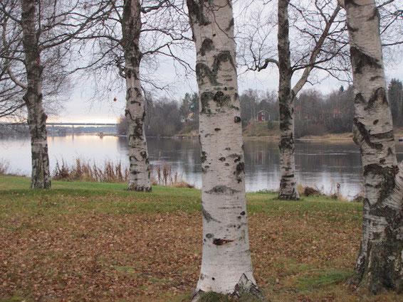 Umeå: Birken und Kolbäcksbron