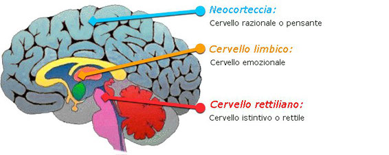 Come è fatto il cervello umano.
