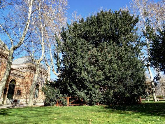 TEJO DEL PALACIO DE VELAZQUEZ DEL RETIRO. Madrid.