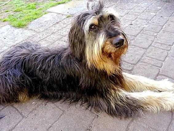 Berta ist ein Wäller. Sie liegt auf der Terrasse und schaut mit einem nassen Fell in die Kamera.