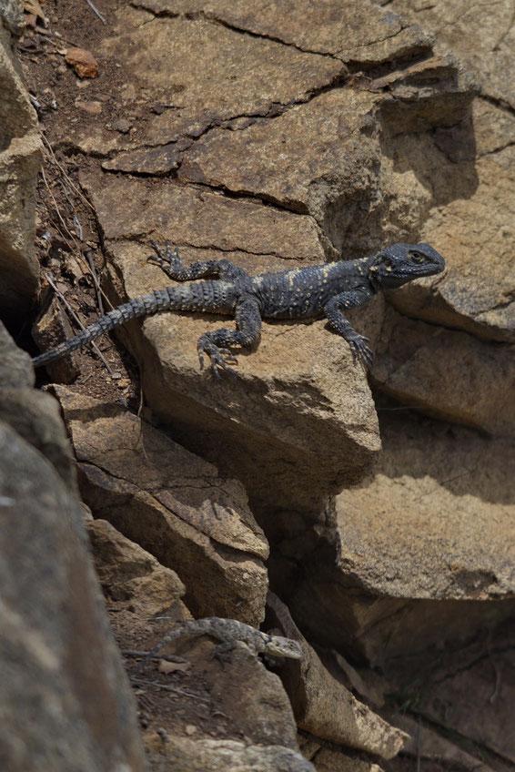 Hardune (Stellagama stellio daani), oben Männchen, unten semiadultes Weibchen