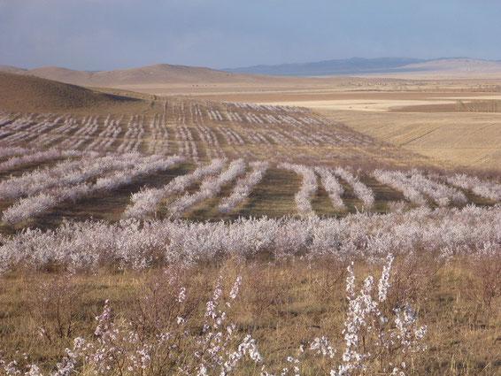 乾物ドライカレーパンを食べて荒野に杏の花を咲かせましょう!(写真は、地球緑化クラブさんがこれまでに活動を行ってきた地域の写真です)