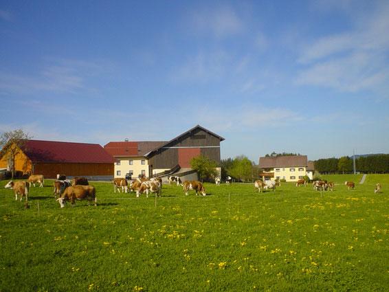 Unsere Kühe beim Grasen auf der Weide.