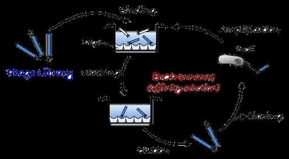 図4 パイオパニングによる標的分子結合性ファージの選択および配列決定の概略。