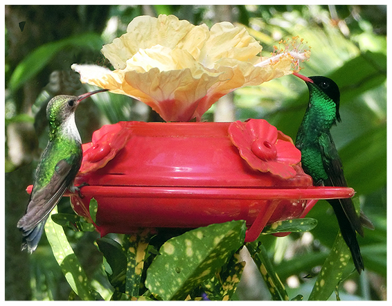 A rare encounter, Male and female Streamertail  in Barney's Flower&Hummingbird Garden Jamaica
