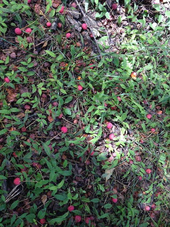 地面に落ちたヤマボウシの実