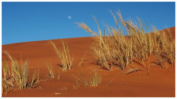 Stipagrostis de Namibie