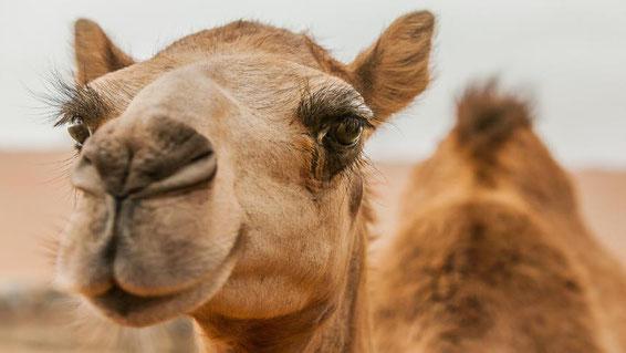pyramide de khéops chameaux