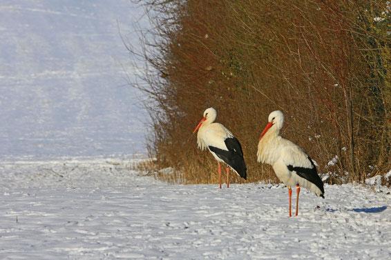 Störche im Winter - Foto: Hans Schoenecker
