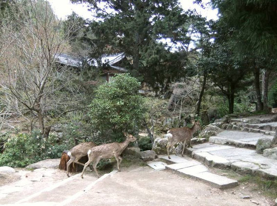 """Un petit groupe de """"sika"""" remontent vers la forêt en nous ignorant superbement"""