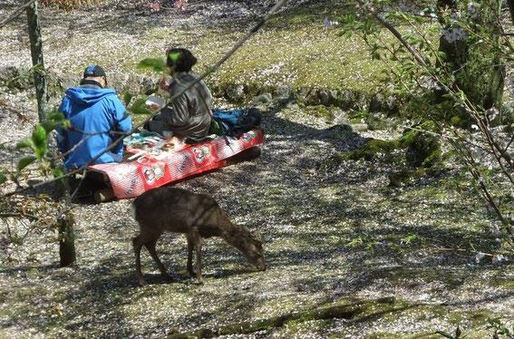 Les cerfs sika aussi font hanami !