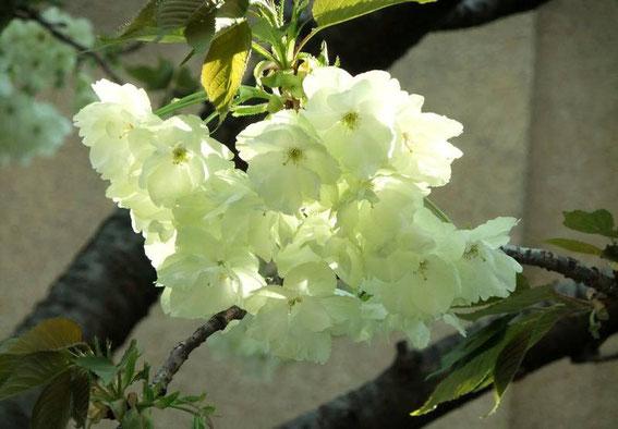 Fleurs de cerisier vertes