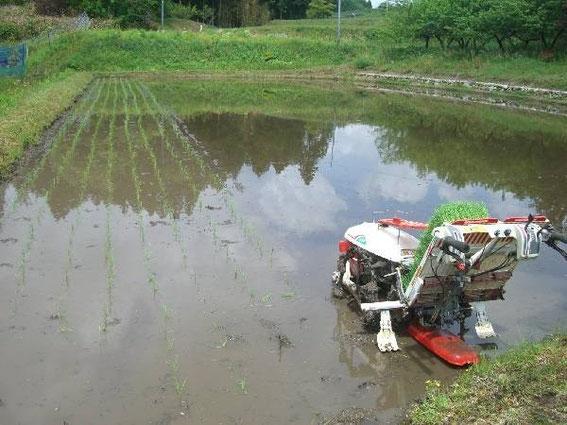 La rizière en Mai avec la machine à repiquer le riz (photo Kkso-tajimaya.com)