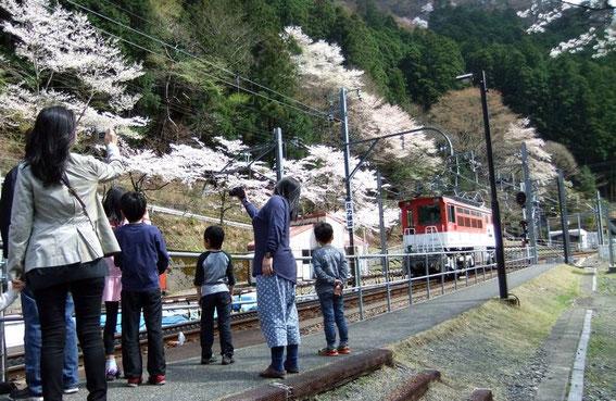 Les cerisiers de Ichishiro ABT station