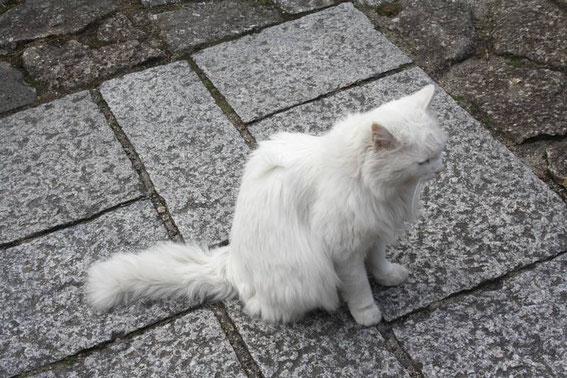 Milku le chat de Magome