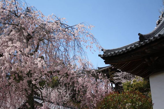 Toits et sakura pleuruer du sanctuaire Toyokuni