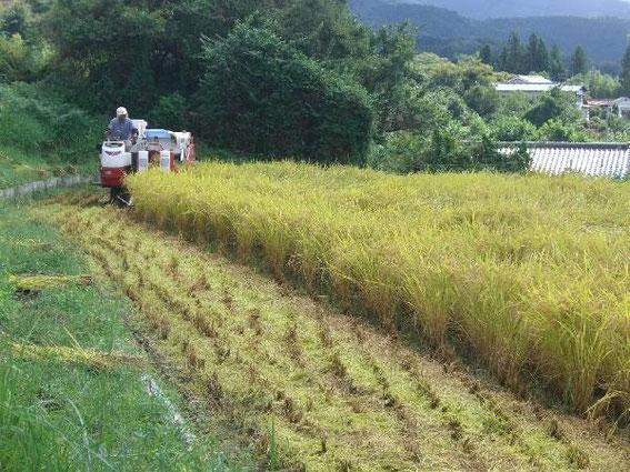 "La rizière en septembre avec la ""moissonneuse"" (photo kiso-tajimaya.com)"